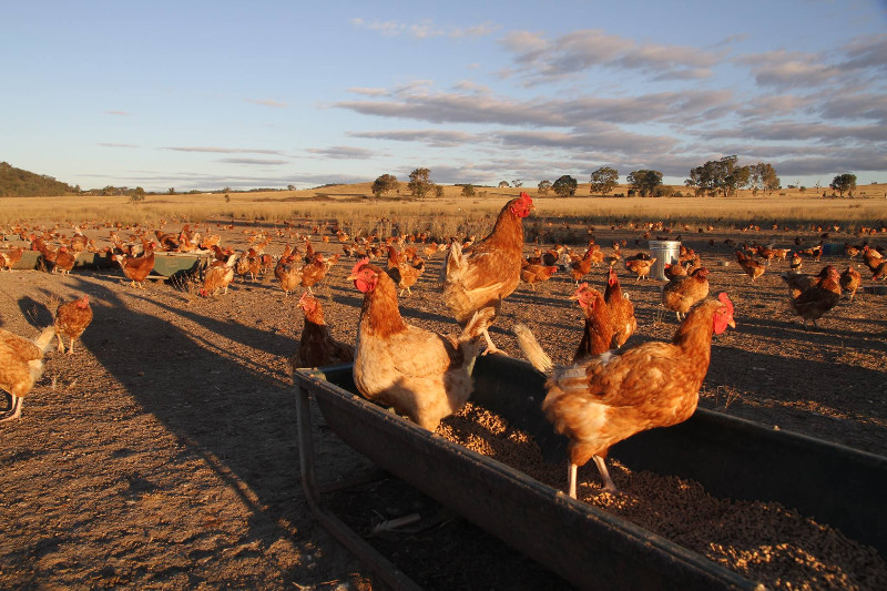 Clarendon Farms- Free Range Eggs